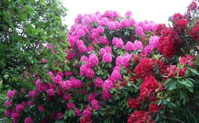 Colorful Rhododendrons