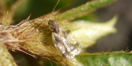 The Azalea Lace Bug - Stephanitis Pyruoides